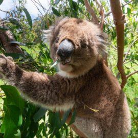 Aussie Koala Tours